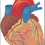 Picture coronary arteries in heart