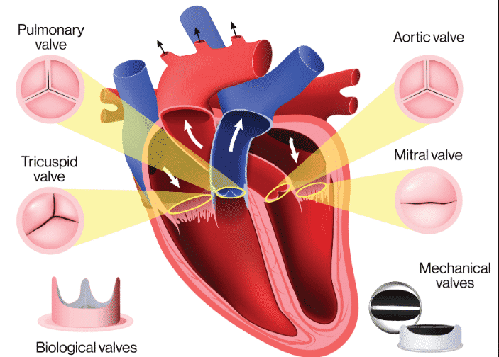 Picture Heart Valves